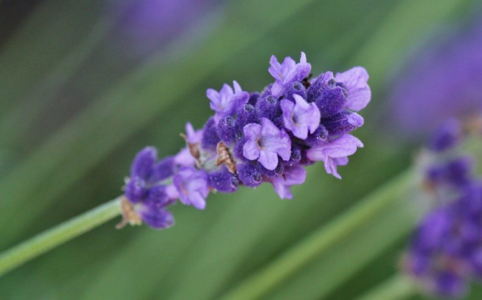 9 edible flowers and how to use them herbal academy 9 edible flowers and how to use them herbal academy discover how to use mightylinksfo