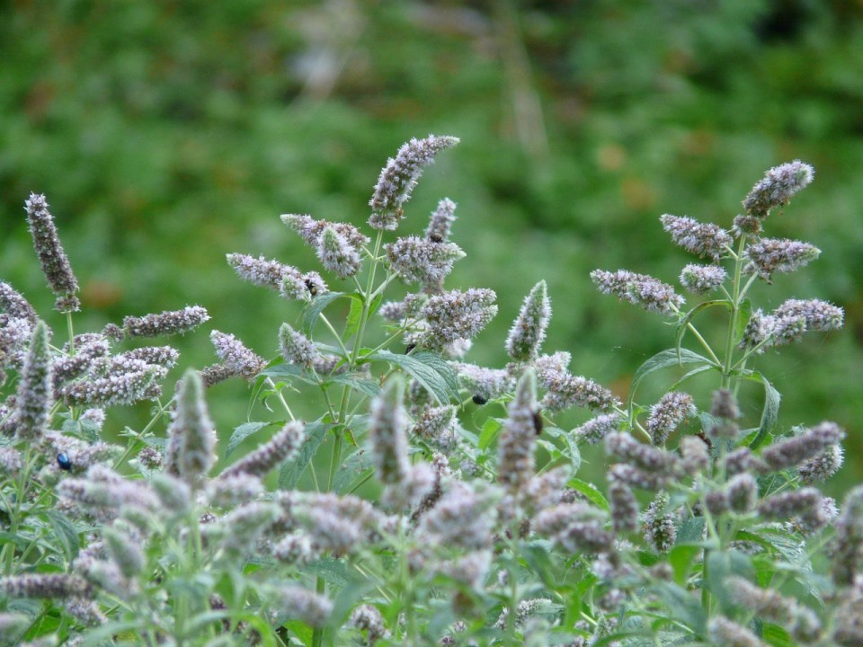 A Family Herb: Amazing Mint | Herbal Academy | The amazing mint plant is beautifully fragrant with a delightful taste. Learn the many ways you can use this plant in your home!