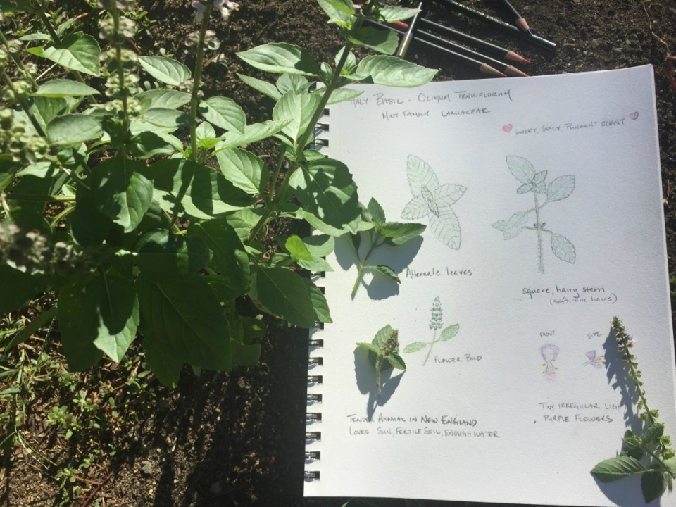 Creating a Local Materia Medica with Holy Basil | Herbal Academy | Holy basil is part of the mint family and is useful for fighting stress and aging. Learn the other many uses of this plant for your local materia medica!