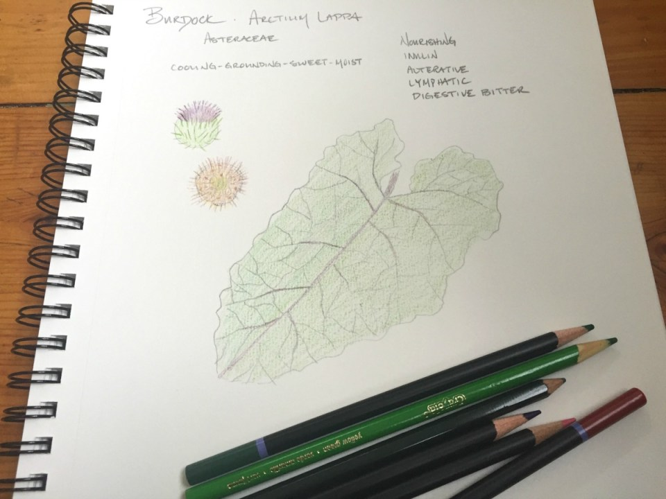 Creating a Local Materia Medica with Burdock | Herbal Academy | Learn how you can use burdock for food and medicine as part of your local materia media.
