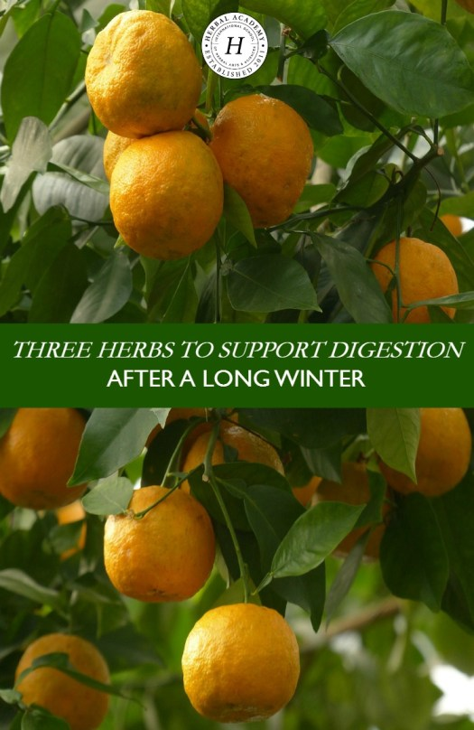 Three Herbs To Support Digestion After A Long Winter | Herbal Academy | Is your body in need of a jump start after a long winter? Here are three herbs to support digestion and give your body the help it needs!