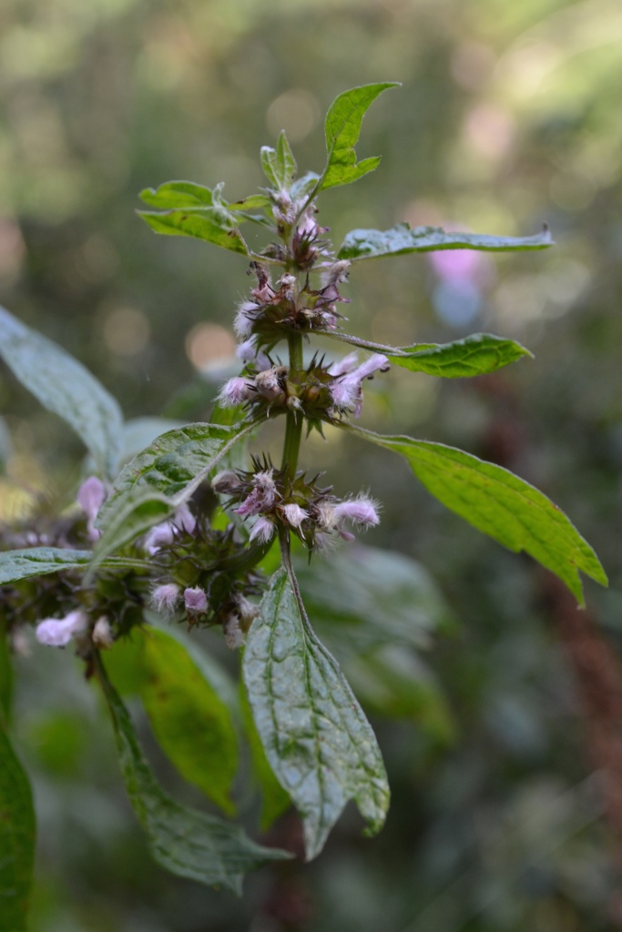 Motherwort Through History | Herbal Academy | Here at the Academy, we often talk about the history and traditions of herbs. In this post we are focusing on the history of motherwort. Come learn with us!