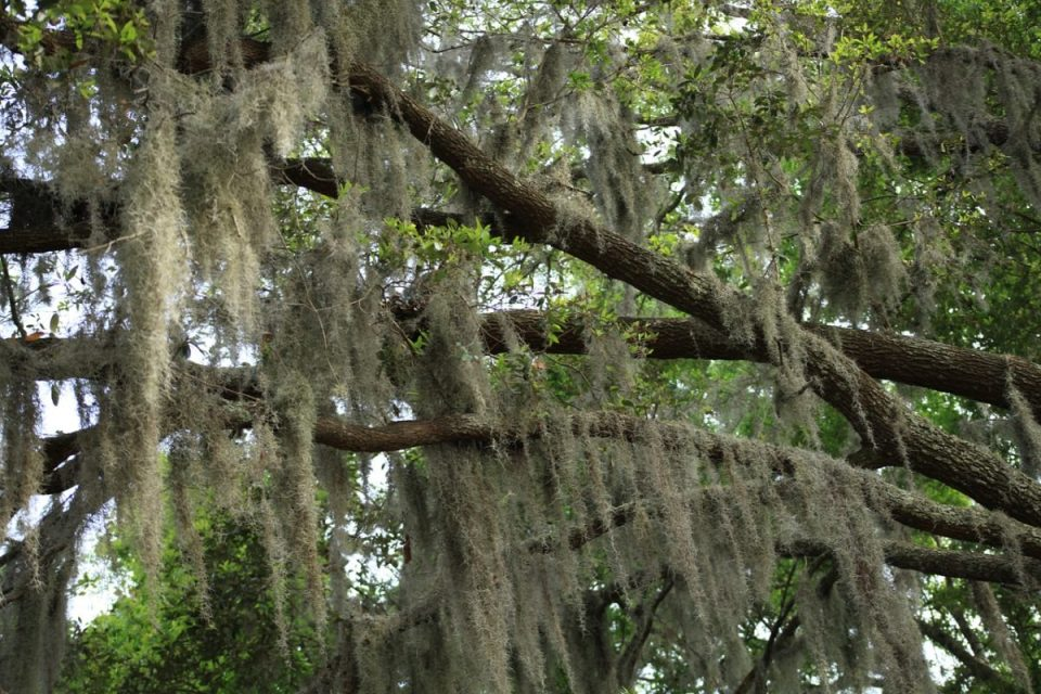 Who Else Wants To Learn About Spanish Moss? | Herbal Academy | Join us as we share the history and uses of Spanish moss!