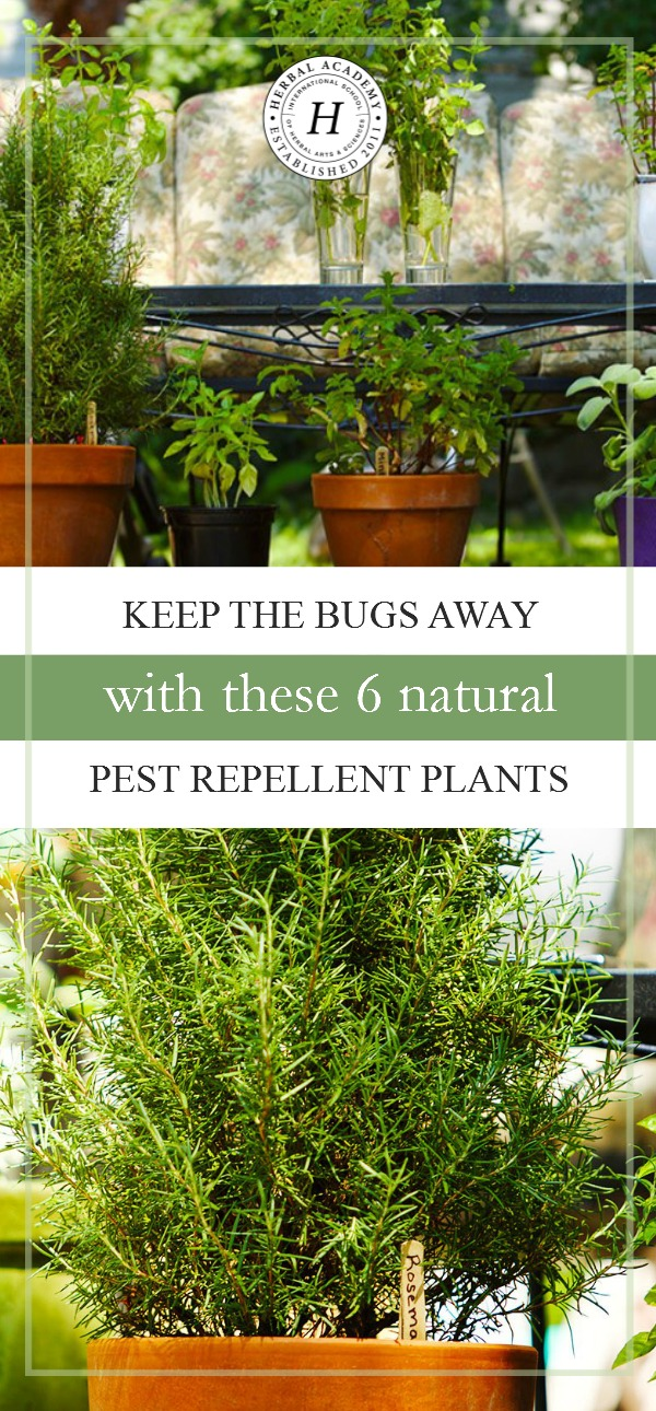 Keep The Bugs Away With These 6 Natural Pest Repellant Plants | Herbal Academy | Ever wondered what herbs you can plant to help deter insects? We're sharing 6 great options with you in this post!