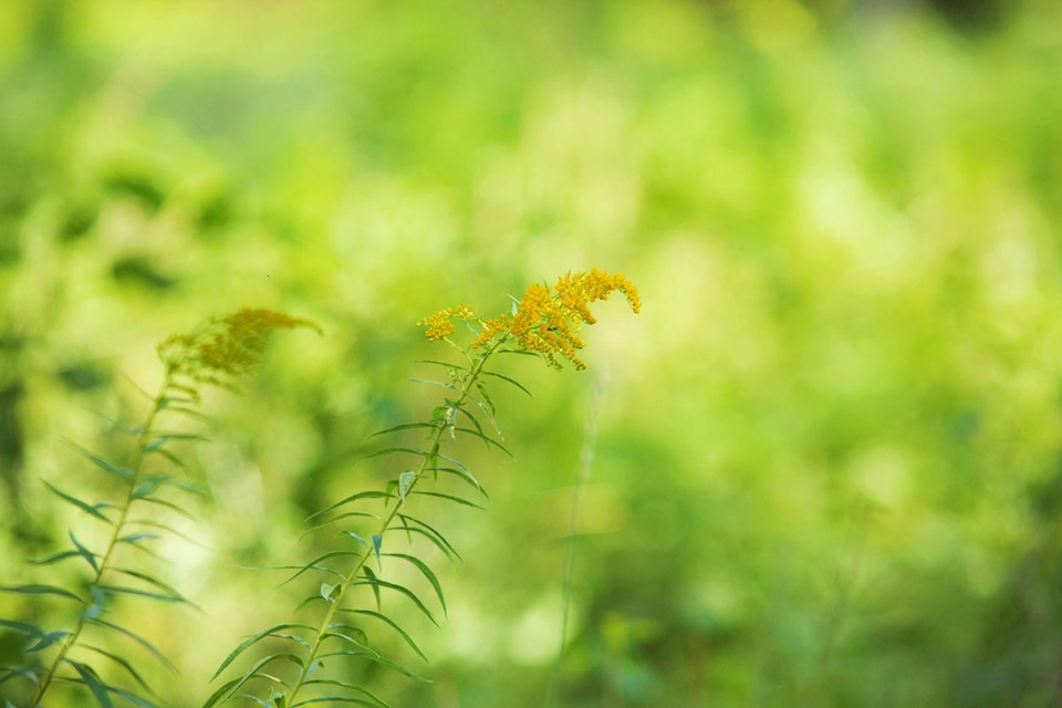 3 Tips For Foraging Goldenrod This Year   Herbal Academy   Are you looking for an herb to forage this fall? Goldenrod is a great choice! We have three tips to keep in mind when you are foraging goldenrod this year.