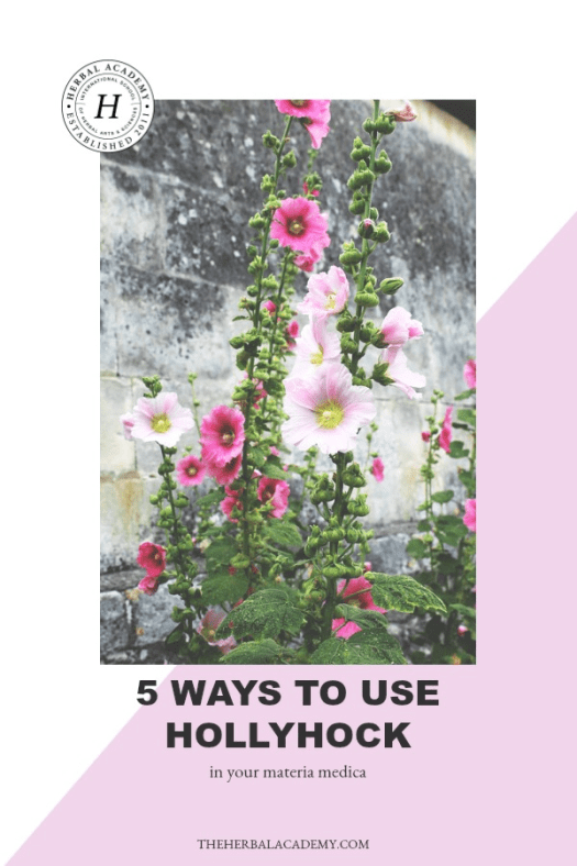 5 Ways To Use Hollyhock In Your Materia Medica | Herbal Academy | Hollyhock is more than just a beautiful flower. Here are 5 ways you can add hollyhock to your materia medica!