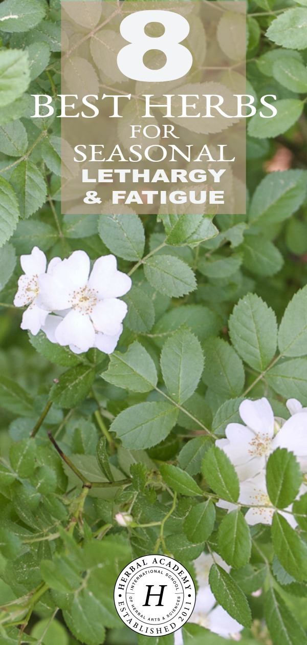8 Best Herbs for Seasonal Lethargy & Fatigue | Herbal Academy | Does seasonal lethargy & fatigue have you down? There's no better time than summer to turn to herbs that can cool us down and help re-energize the body.