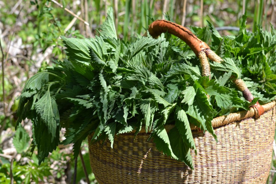A basket of nettle leaves, a popular wild food