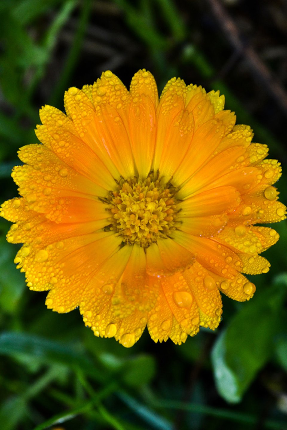 calendula is one of the cooling herbs of summer