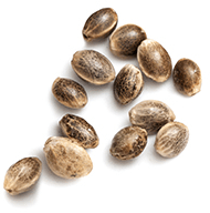 https://i2.wp.com/theherbary.com/wp-content/uploads/2018/12/marijuana_seeds_white.png?fit=190%2C192&ssl=1