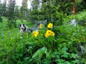 Two Asters... dog and balsamroot (Balsamorhiza sagittata, Asteraceae) Gallatin National Forest, MT