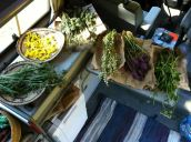 The day's harvest in my travelling workshop. Ready to start processing. Pictured left to right: Achillea millefolium, Arnica cordifolia, Anemone patens, Anemone multifida, Pedicularis contorta, Pedicularis groenlandica, and Valeriana sitchensis.