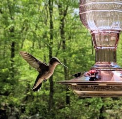 easy diy recipe for hummingbird feeder fluid liquid sugar water feed recipe all natural with added vitamic c powder to last longer and prevent molding or fermenting