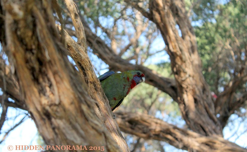 Life Of Others : Wilson Promontory – Crimson Rosella