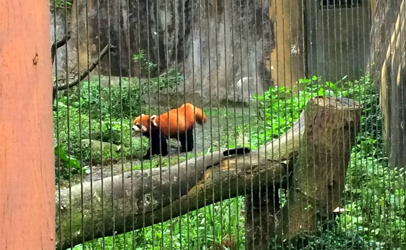 Life Of Others : Taipei Zoo – Red Panda