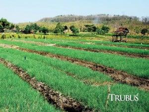 Luas areal tanam bawang merah di Kabupaten Bojonegoro, Jawa Timur, mencapai 1.211 hektare.