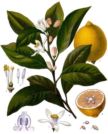 Lemons, sunny color, refreshing flavor