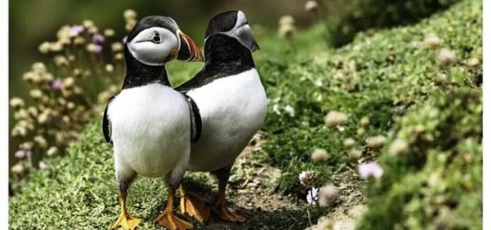 Bird Ireland Puffin Sea Feather Beak Colour