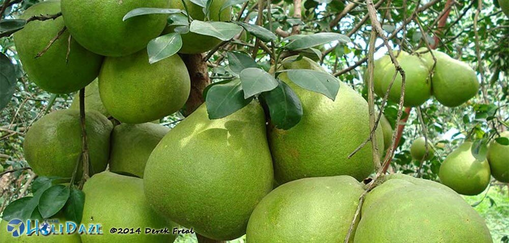 Pomelo, one of the amazing, weird and exotic types of Southeast Asia fruit