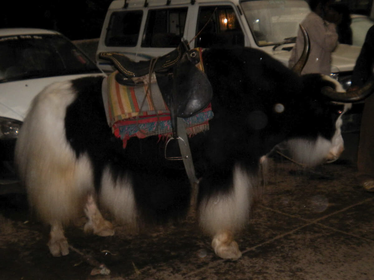 Yak for riding around the Manali Valley in northern India
