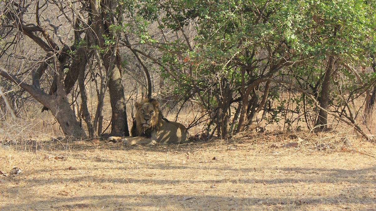 The Asiatic Lion at Gir Forest, Gujarat, India