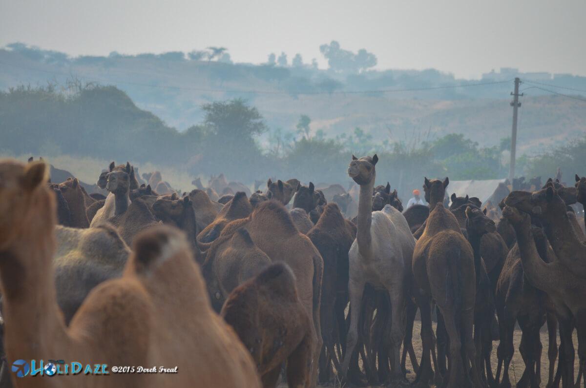 Camels at the Pushkar Camel Fair 2015