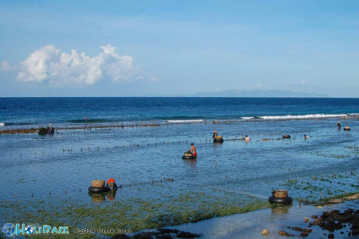 Seaweed farmers hard at work on Nusa Penida Island, Indonesia