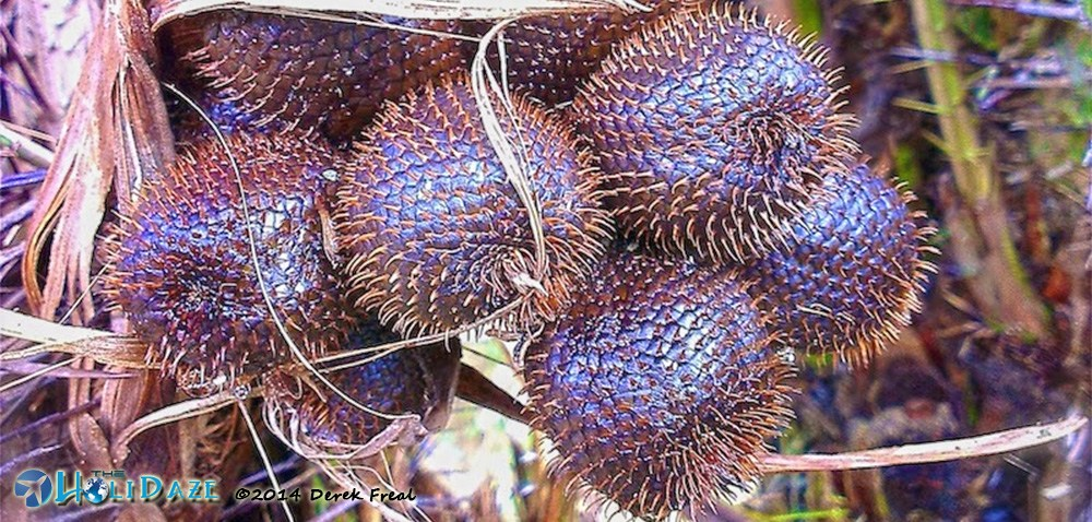 """Snakefruit aka """"salak&quote in Indonesia, one of the amazing, weird and exotic fruits of Southeast Asia"""