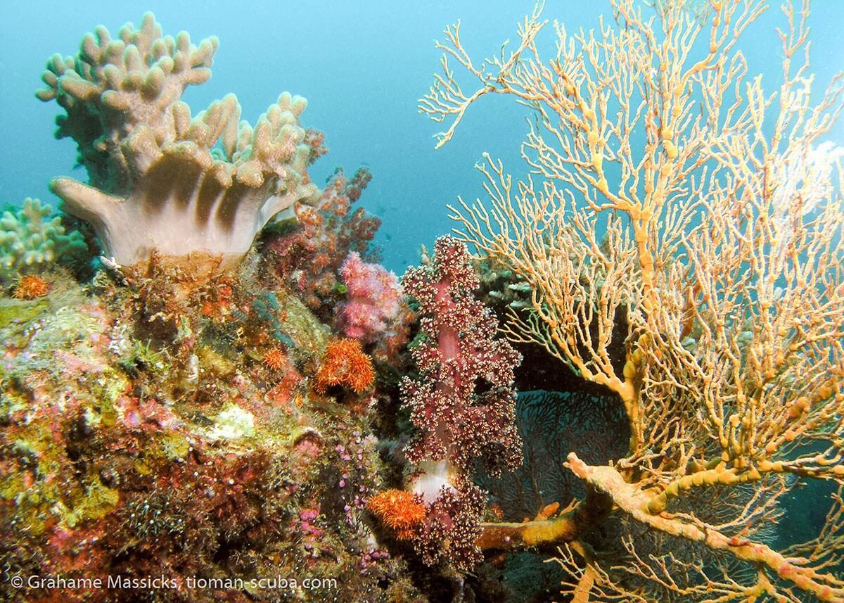 Soft coral fan at Salang, Tioman Island