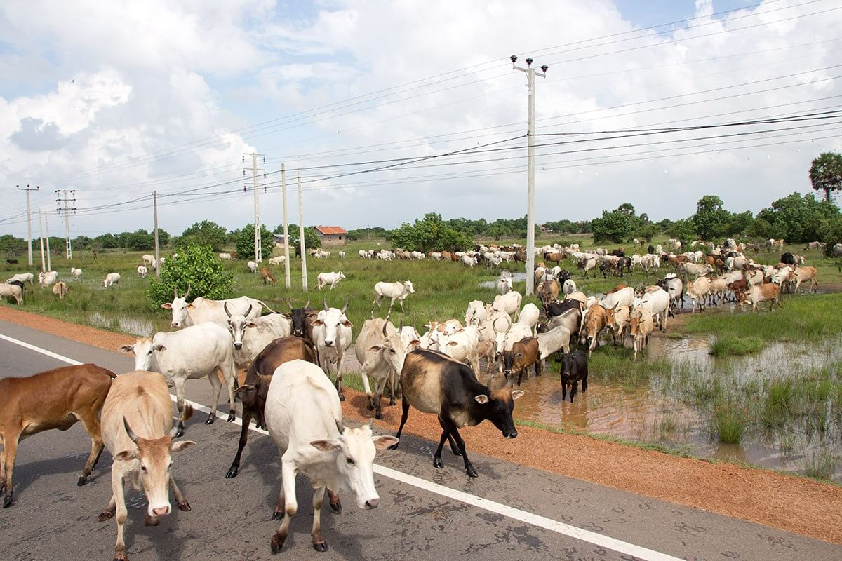 Things you don't know about Sri Lanka: cows outnumber cars in the north. Our bus to Jaffna had to pause while the cows crossed the street.