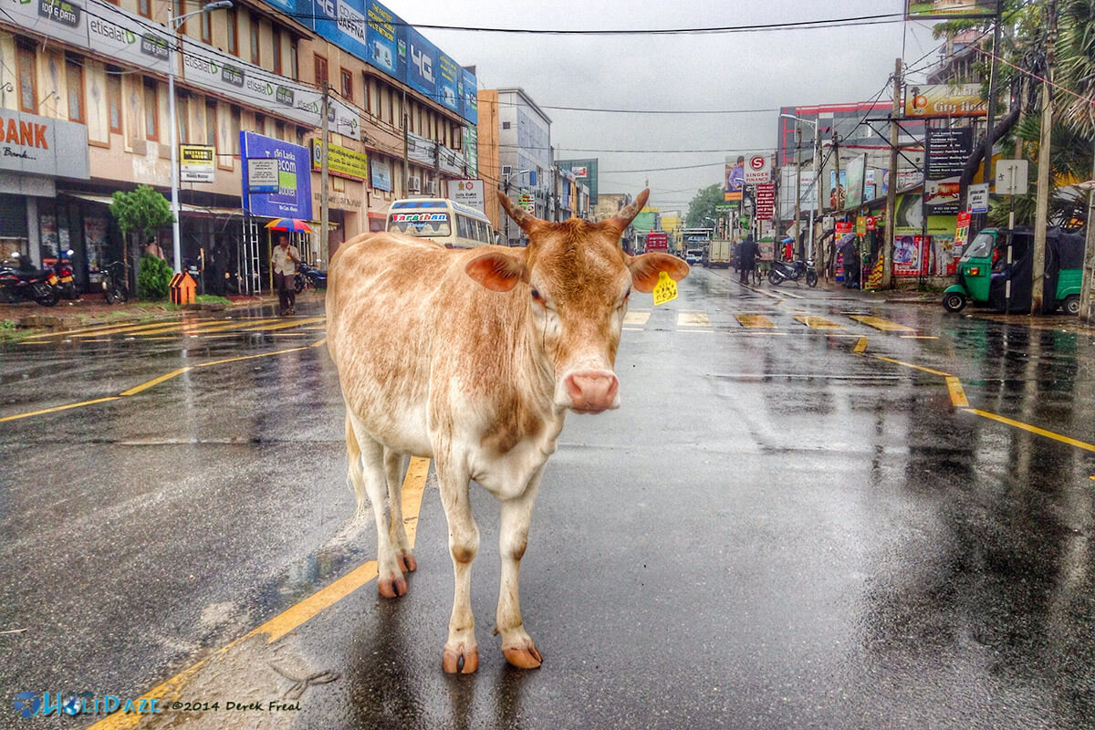 "Here in Jaffna, Sri Lanka the cows own the streets. They are not scared of anything and when you honk at them they just look at your like ""WTF do you want?"""