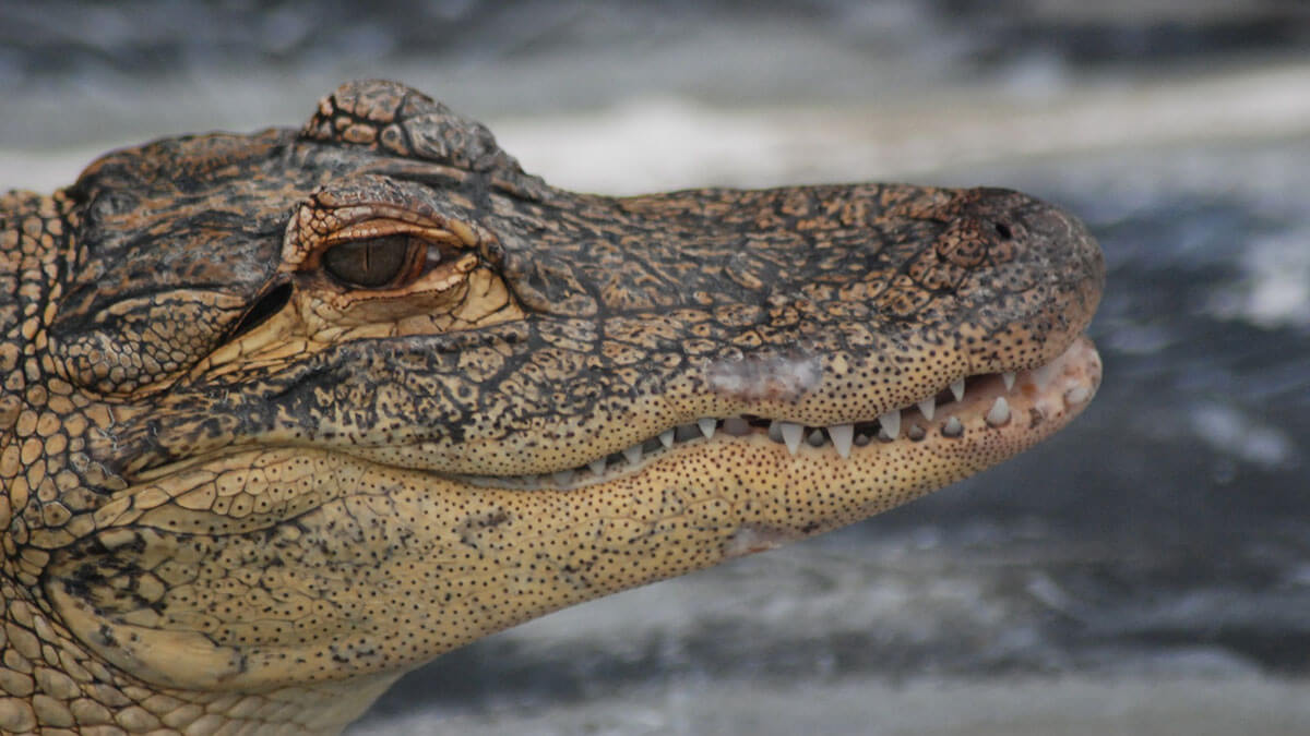 Gatorland Theme Park is one of the offbeat Orlando theme parks making this city cool and quirky