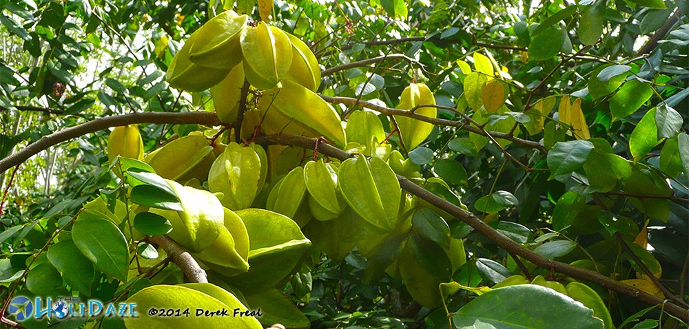 Starfruit in Vietnam, one of the amazing, weird and exotic fruits of Southeast Asia
