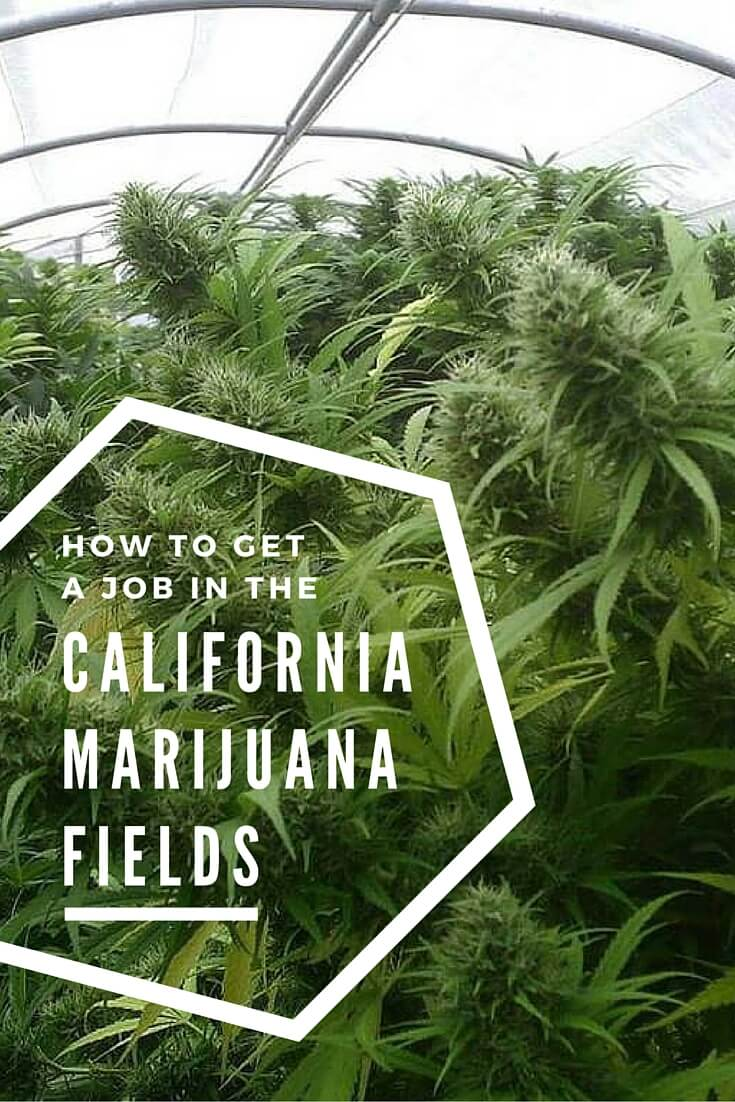 How to get a job in the California marijuana business trimming weed #california #cannabis #marijuana