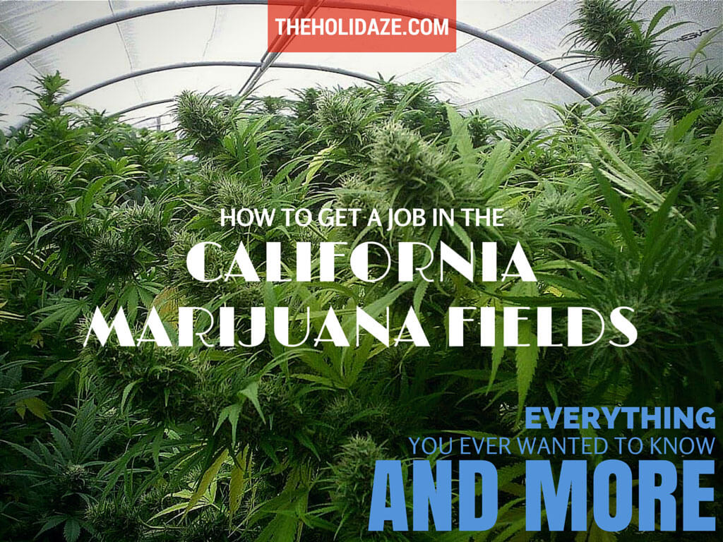 How to get a job in the California marijuana fields