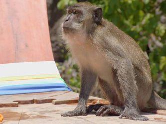 Monkey at Ko Phi Phi, Thailand