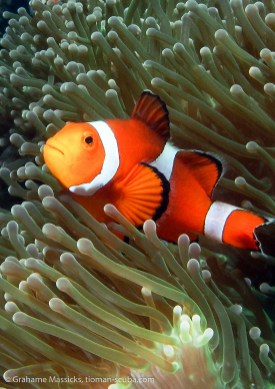 False clown fish, Salang, Tioman Island