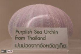 Purplish Sea Urchin from Thailand at the Bangkok Seashell Museum