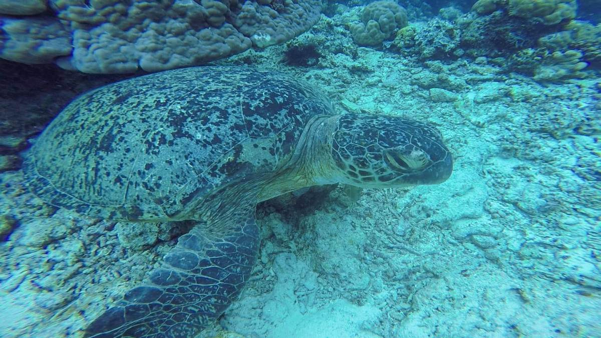 Sabah sea turtle spotted while scuba diving