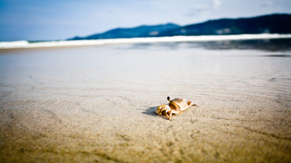 Crab on the sandy beach of Phuket, Thailand