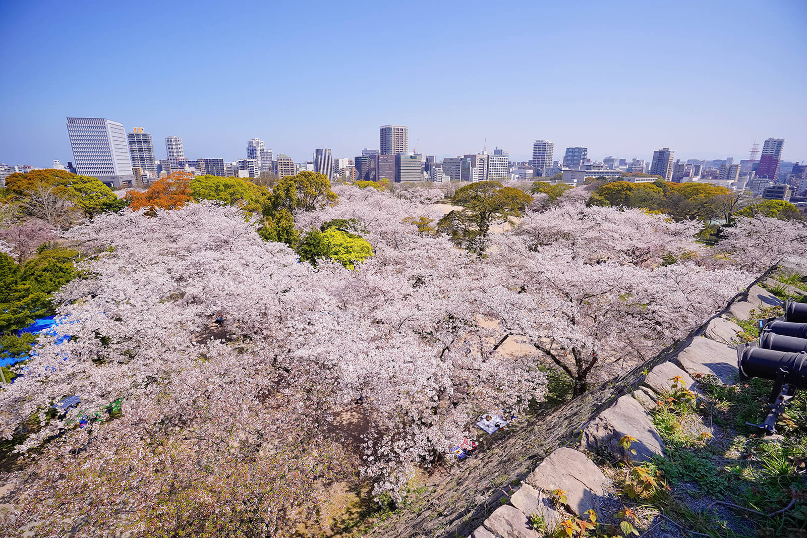Cherry blossoms in Fukuoka City, Japan