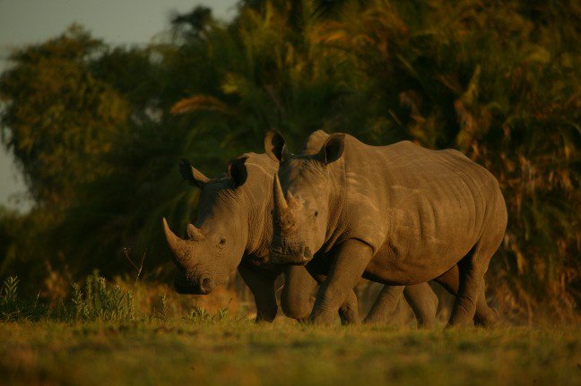 Two white rhinos in Africa