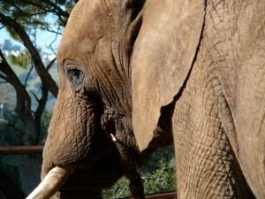 Magnificent Elephant Bull TTouched by Linda Tellington-Jones