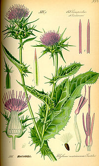 milk thistle illustration