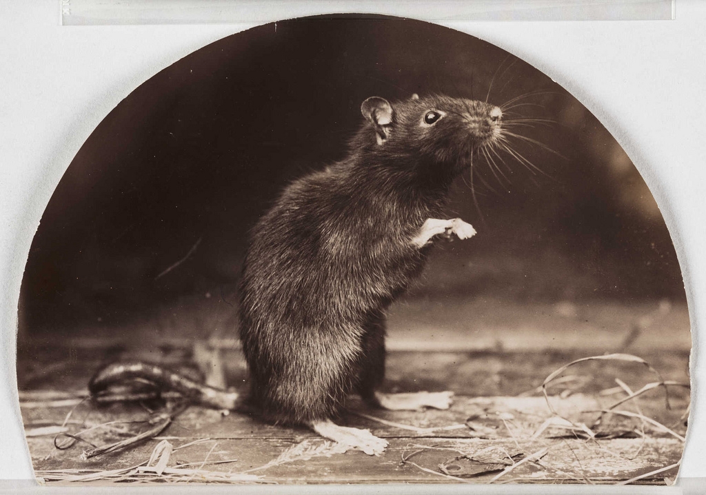https://i2.wp.com/thehollowearthinsider.com/blog/wp-content/uploads/2013/04/Old-English-Black-Rat-Flickr-Photo-Sharing-Public-Domain.jpg