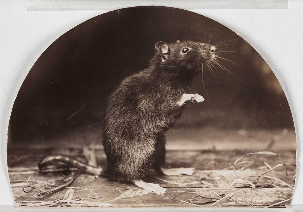 https://i2.wp.com/thehollowearthinsider.com/blog/wp-content/uploads/2013/04/Old-English-Black-Rat-Flickr-Photo-Sharing-Public-Domain.jpg