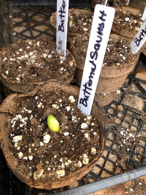 peaking squash seed, newly germinated