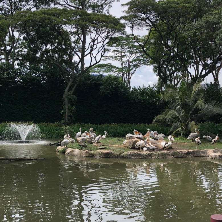 Pelicans at Jurong Bird Park