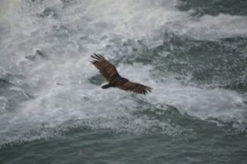 Majestic golden eagle soars above Pacific OCean