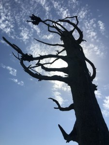 Lewis and Clark Tree, Long Beach, WA, imposing against the summer sky